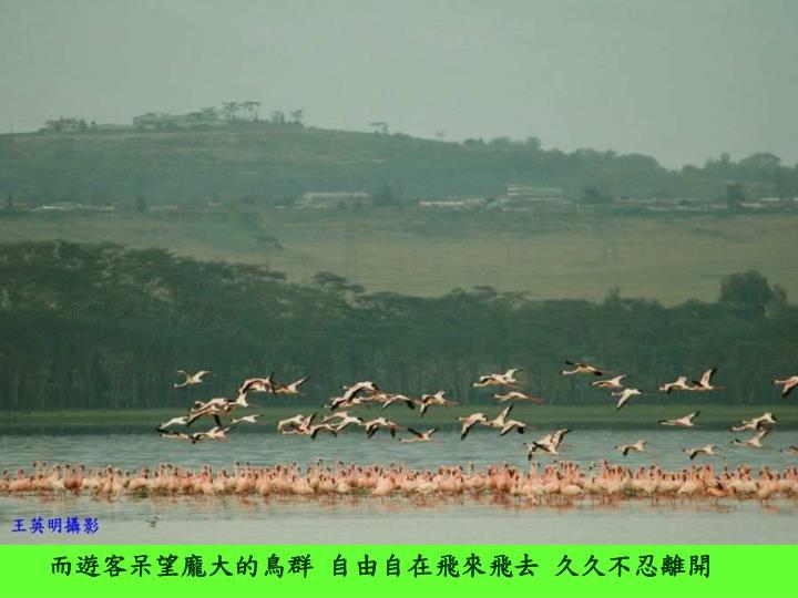 而遊客呆望龐大的鳥群 自由自在飛來飛去 久久不忍離開