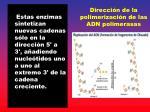 direcci n de la polimerizaci n de las adn polimerasas