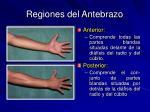 regiones del antebrazo