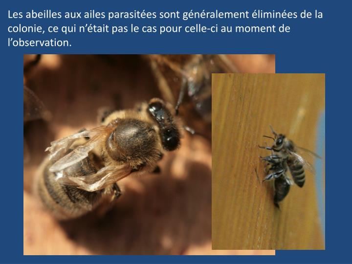 Les abeilles aux ailes parasitées sont généralement éliminées de la colonie, ce qui n'était pas le cas pour celle-ci au moment de l'observation.