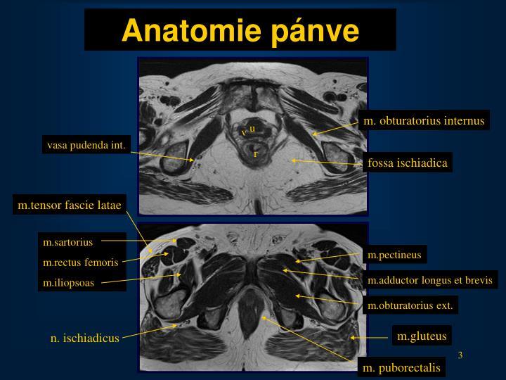 Anatomie p nve