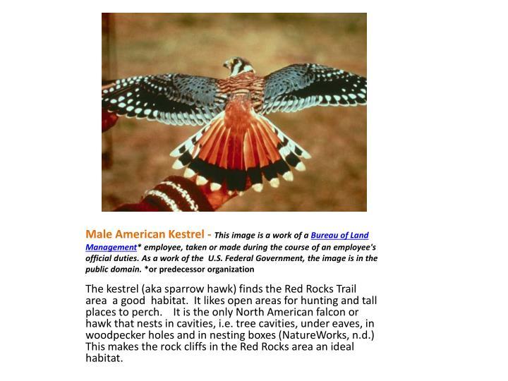 Male American Kestrel -