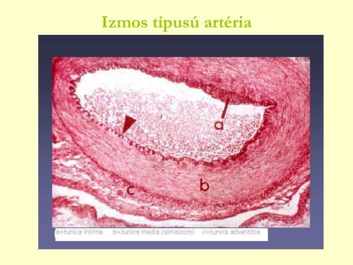 Izmos típusú artéria