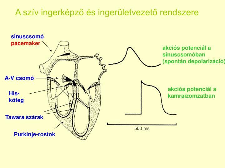 A szív ingerképző és ingerületvezető rendszere
