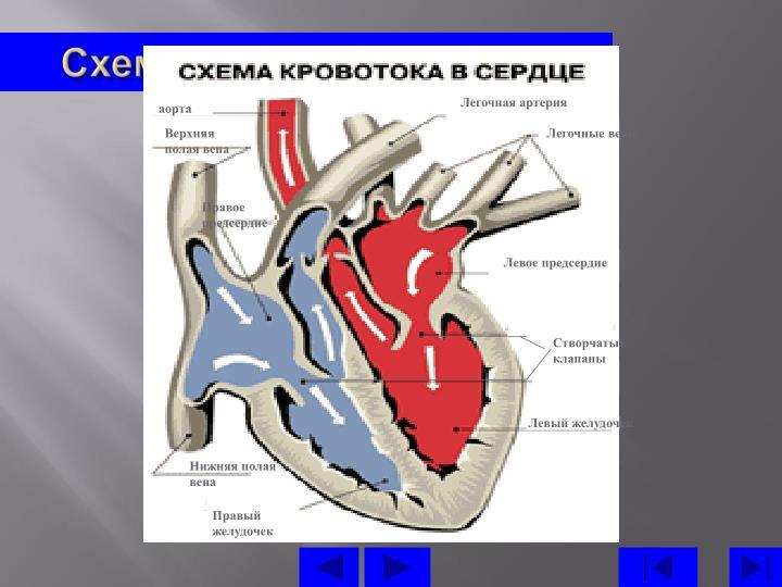 Схема кровотоку в серці