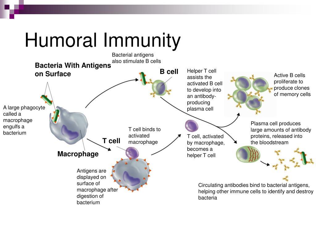 humoral immunity homeostasis failure disease cells cell ppt powerpoint presentation bacteria helper