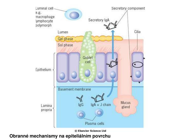 Obranné mechanismy na epiteliálním povrchu