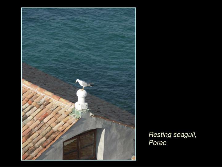 Resting seagull, Porec