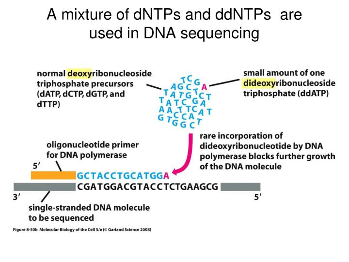 A mixture of dNTPs and ddNTPs  are used in DNA sequencing