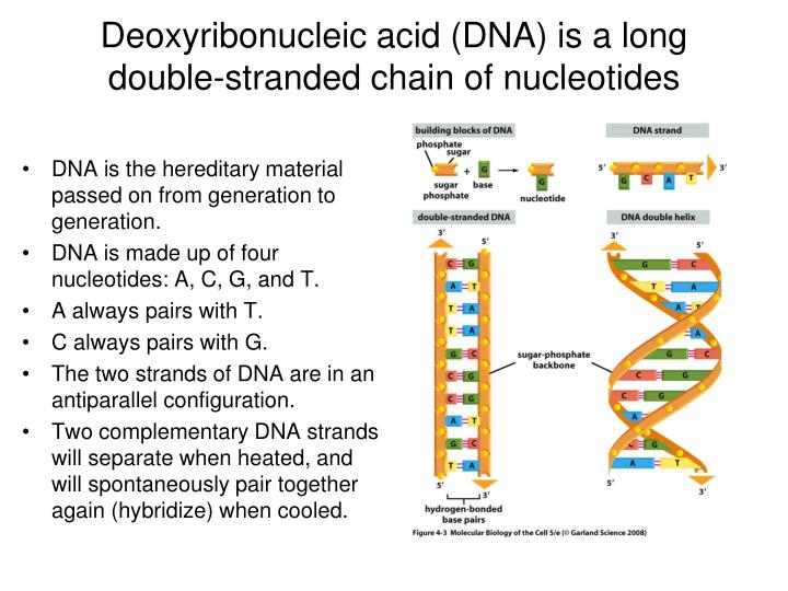 Deoxyribonucleic acid (DNA) is a long double-stranded chain of nucleotides