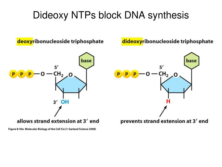Dideoxy NTPs block DNA synthesis