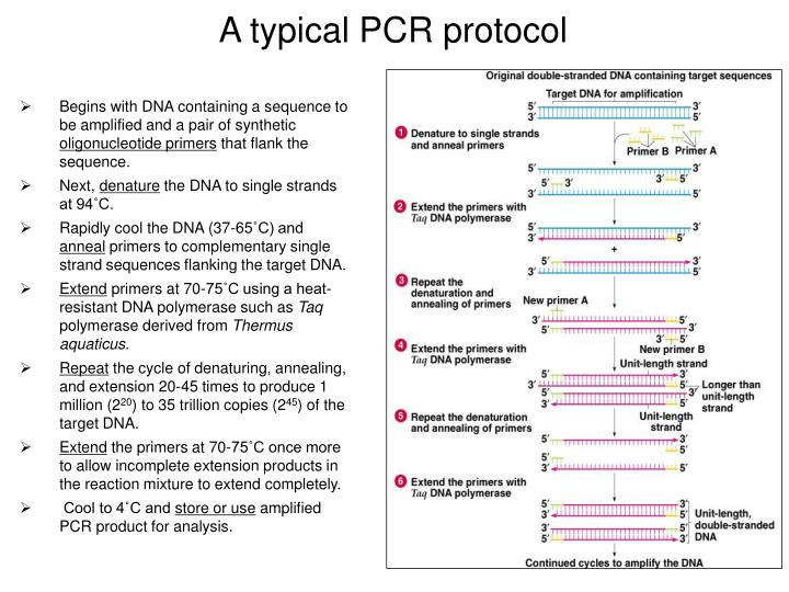 A typical PCR protocol