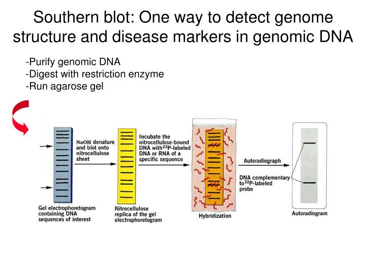 Southern blot: One way to detect genome structure and disease markers in genomic DNA