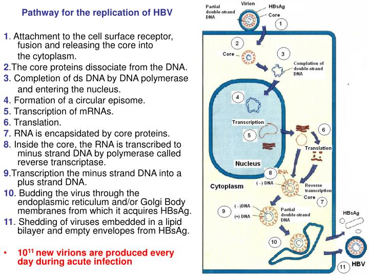 Pathway for the replication of HBV