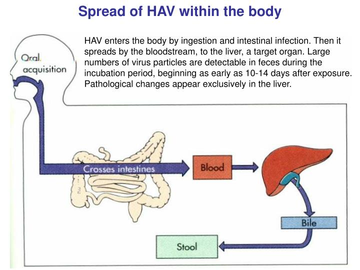 Spread of HAV within the body