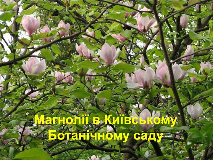 Магнолії в Київському Ботанічному саду