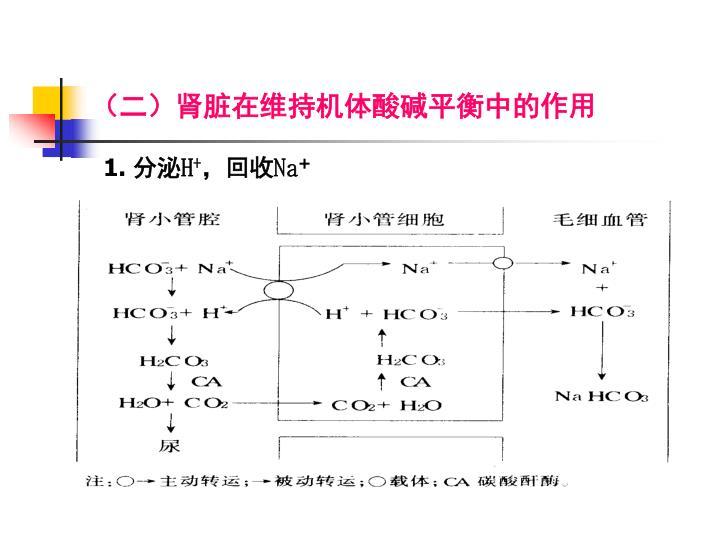 (二)肾脏在维持机体酸碱平衡中的作用