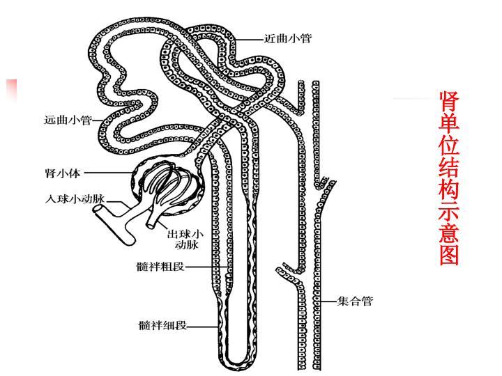 肾单位结构示意图