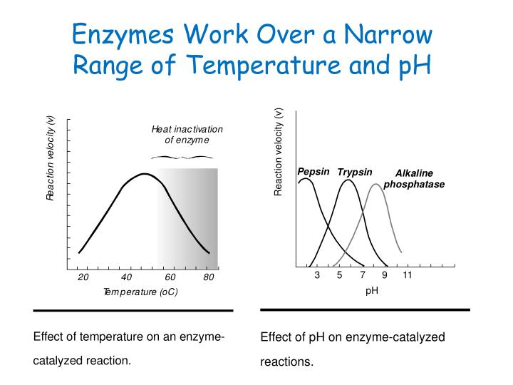 effect of temperature on enzyme catalyzed reaction 2 objectives: to establish the relationship between temperature and the rate of an enzyme catalyzed reaction 4 introduction  with further rise in temperature, above the optimum temperature the rate of reaction decreases, due to denaturation of the enzyme protein and hence loss of activity  the.