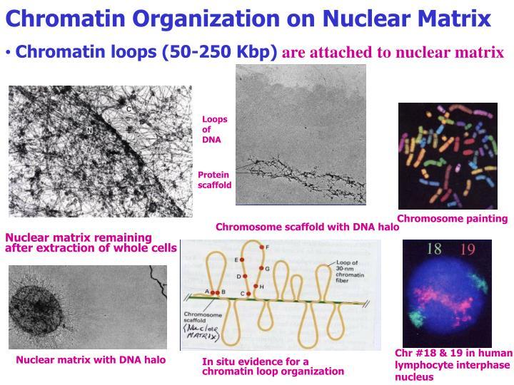 Chromatin Organization on Nuclear Matrix