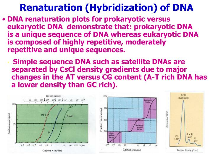 DNA renaturation plots for prokaryotic versus eukaryotic DNA  demonstrate that: prokaryotic DNA is a unique sequence of DNA whereas eukaryotic DNA is composed of highly repetitive, moderately repetitive and unique sequences.