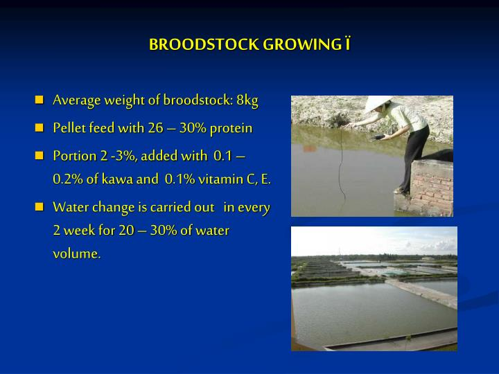 BROODSTOCK GROWING Ï