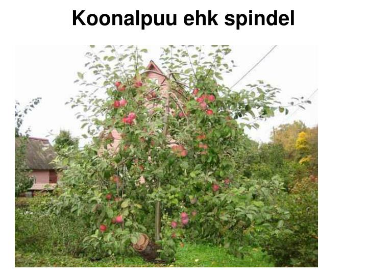 Koonalpuu ehk spindel