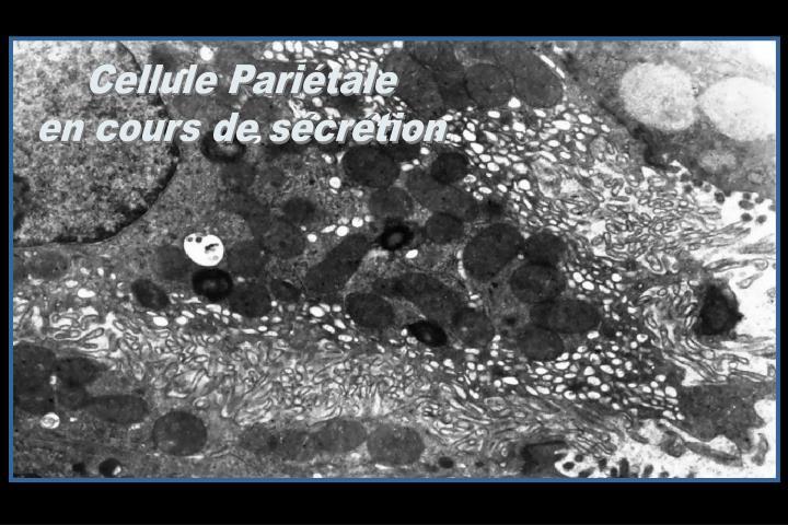 Cellule Pariétale