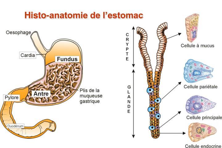 Histo-anatomie de l'estomac