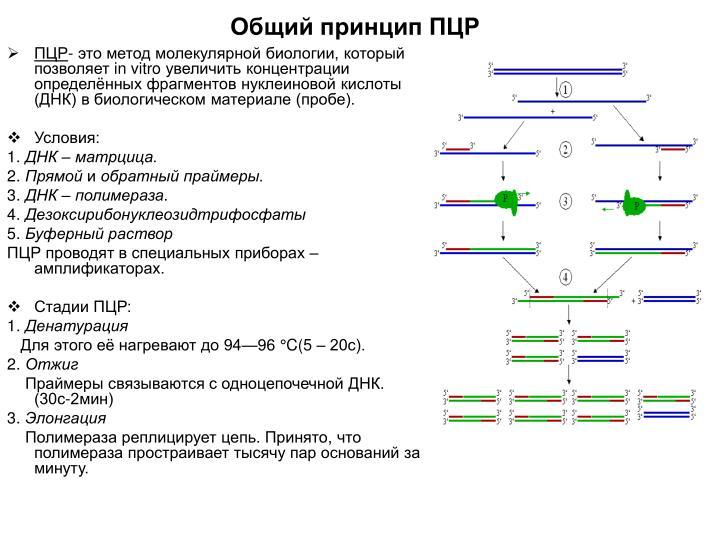 Общий принцип ПЦР
