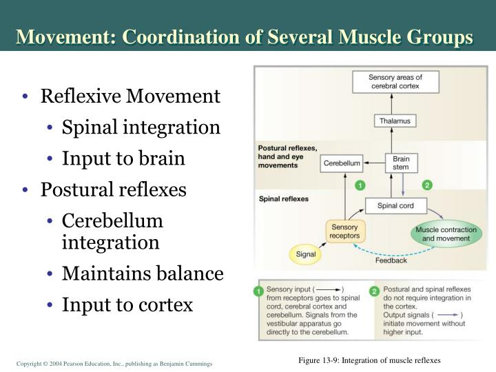 Movement: Coordination of Several Muscle Groups