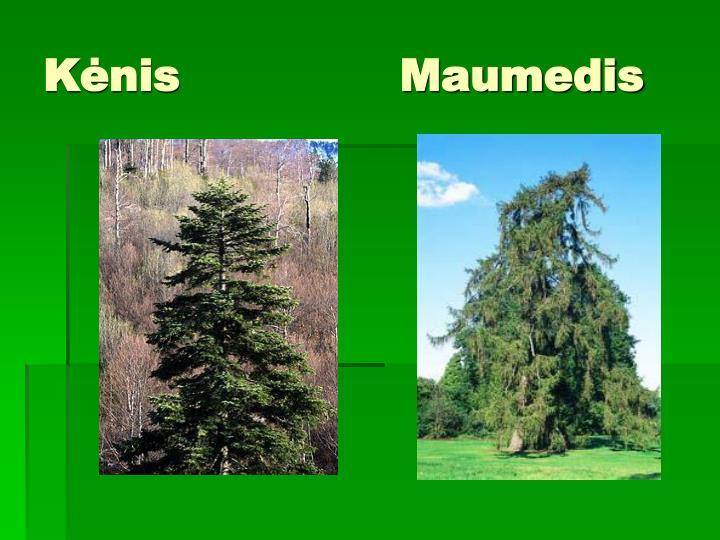 Kėnis               Maumedis