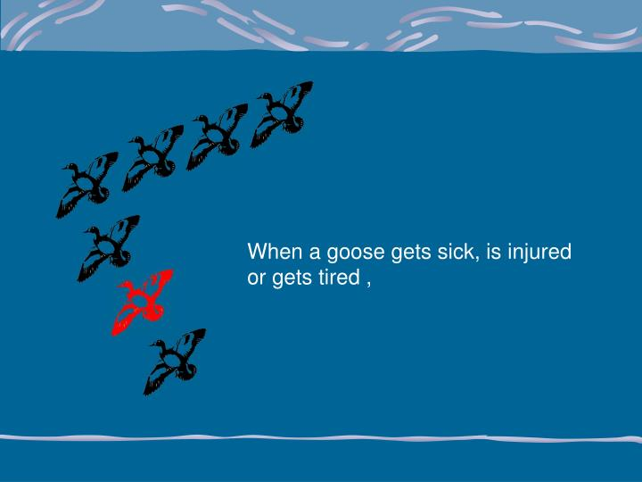 When a goose gets sick, is injured