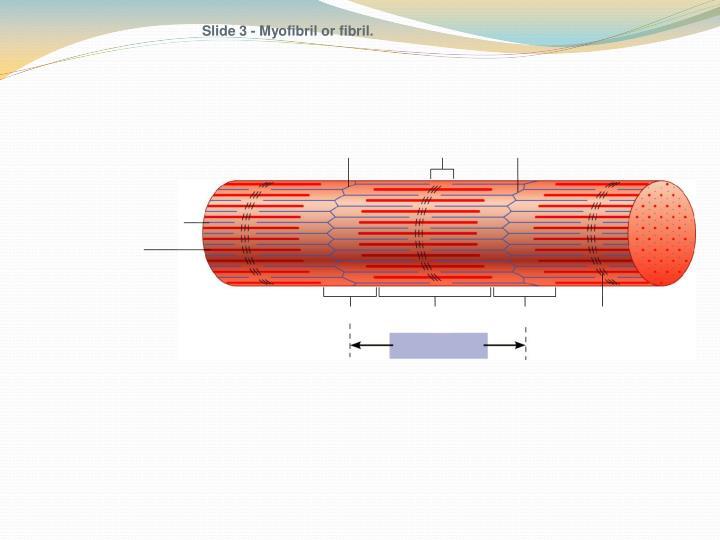 Slide 3 - Myofibril or fibril.