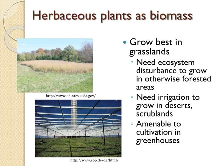 Herbaceous plants as biomass