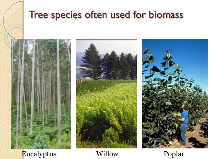 Tree species often used for biomass