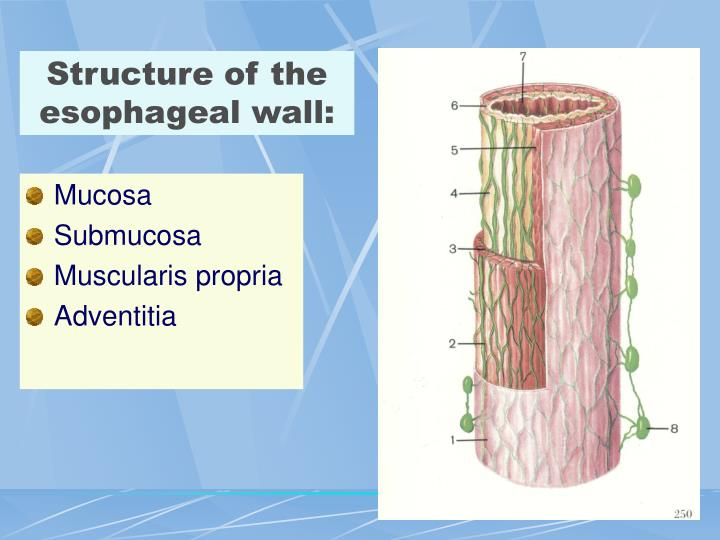 Structure of the esophageal wall: