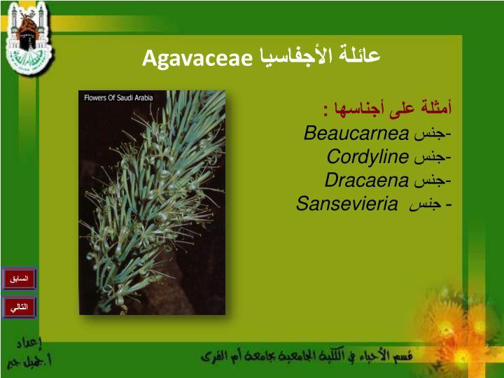 Agavaceae2