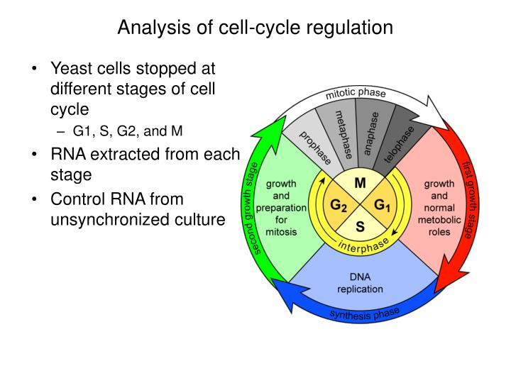 Analysis of cell cycle regulation
