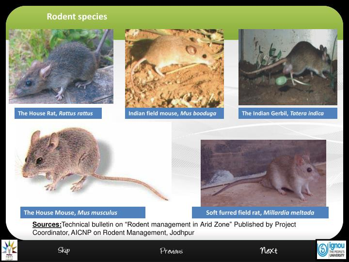 Rodent species
