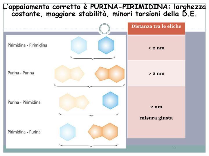 L'appaiamento corretto è PURINA-PIRIMIDINA: larghezza costante, maggiore stabilità, minori torsioni della D.E.