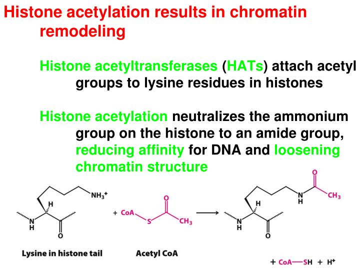 Histone acetylation results in chromatin remodeling