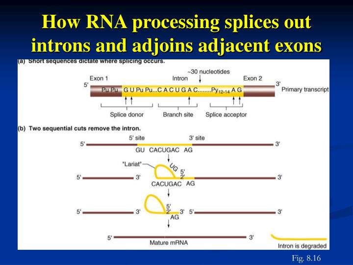How RNA processing splices out introns and adjoins adjacent exons