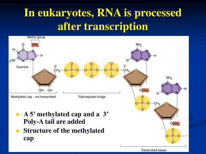 In eukaryotes, RNA is processed after transcription