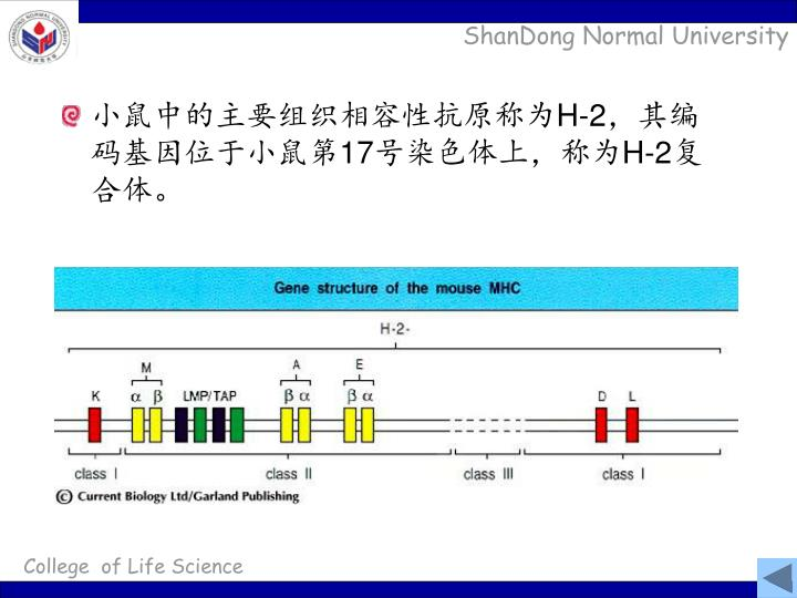 major histocompatibility complex    MHC - PowerPoint PPT Presentation