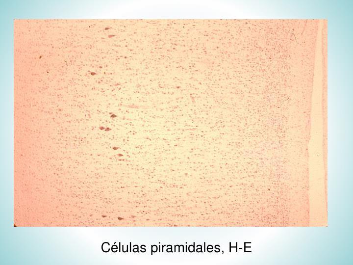 Células piramidales, H-E