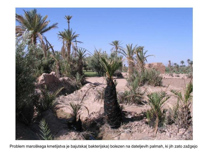 Problem maroškega kmetijstva je bajutska( bakterijska) bolezen na dateljevih palmah, ki jih zato zažgejo
