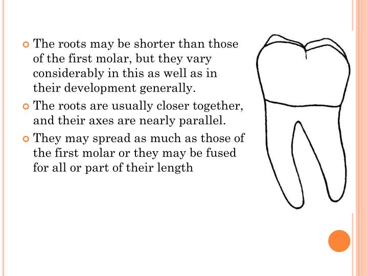 The roots may be shorter than those of the first molar, but they vary considerably in this as well as in their development generally.