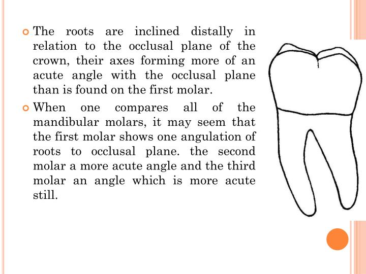 The roots are inclined distally in relation to the occlusal plane of the crown, their axes forming more of an acute angle with the occlusal plane than is found on the first molar.