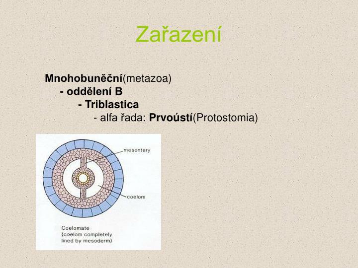 Mnohobun n metazoa odd len b triblastica alfa ada prvo st protostomia